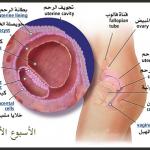 مراحل تطور الحمل أسبوعيا