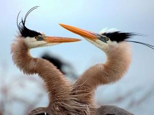 رقص زوجين من طائر مالك الحزين قبل تزاوجهما